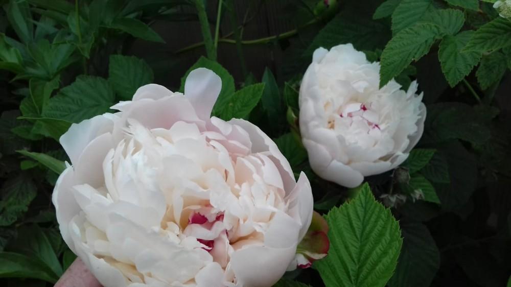 Дачные цветочки 04