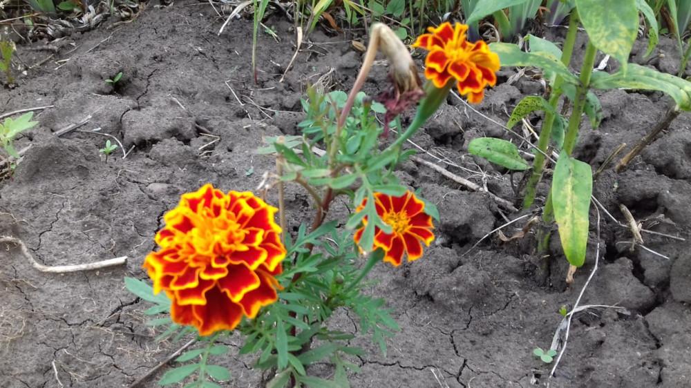 Дачные цветочки 21