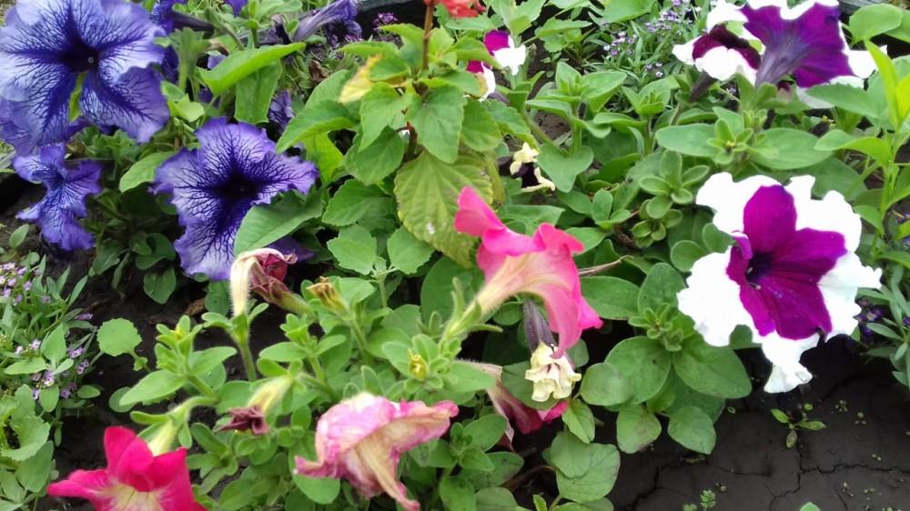 Дачные цветочки 25