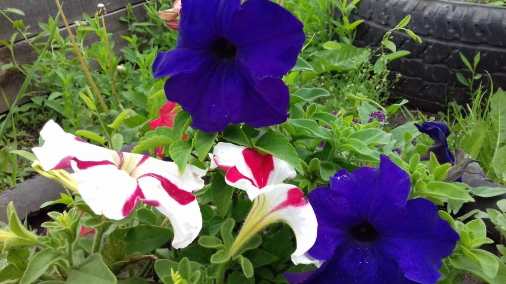 Дачные цветочки 28