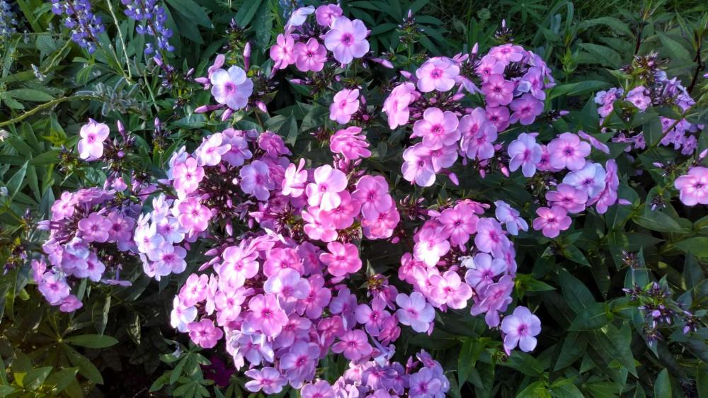 Сибирские цветочки летом 21