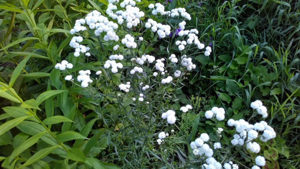 Сибирские цветочки летом 24