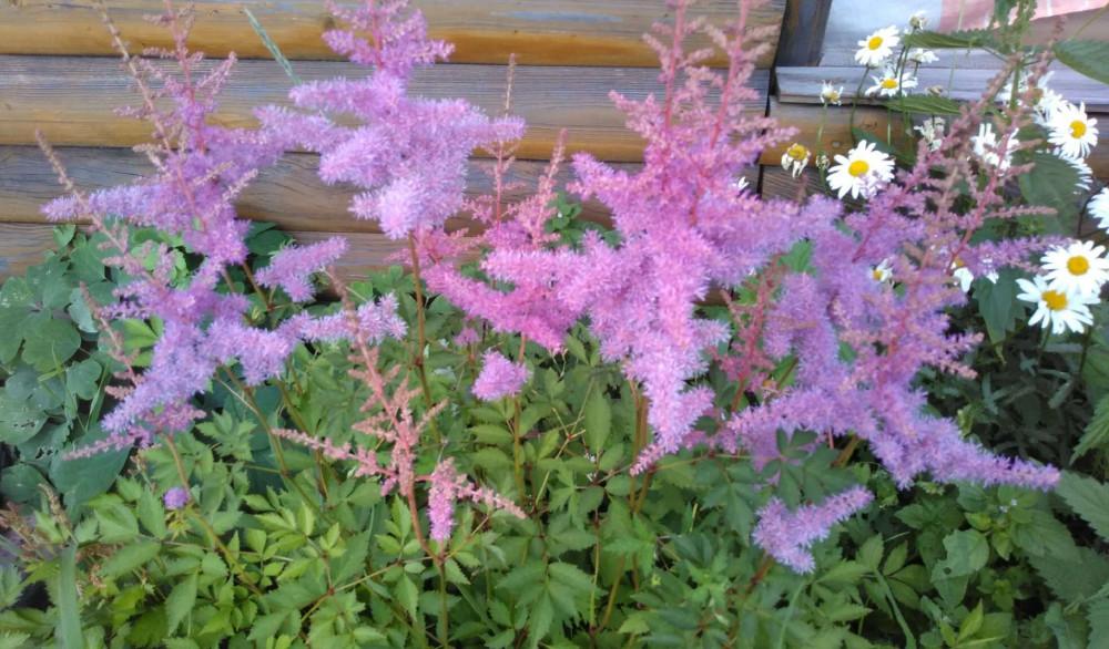 Сибирские цветочки летом 25