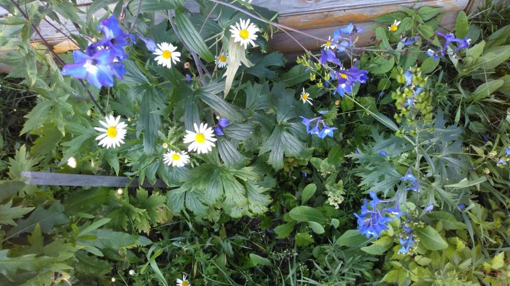 Сибирские цветочки летом 36