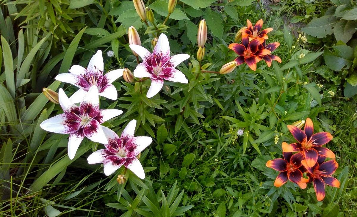 Сибирские цветочки летом 02