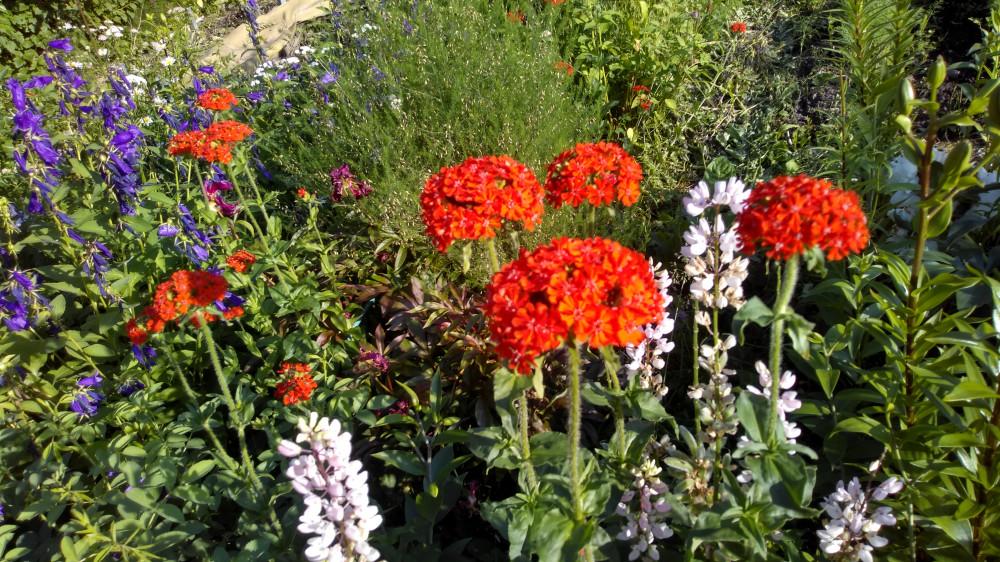 Сибирские цветочки на дачном участке 35
