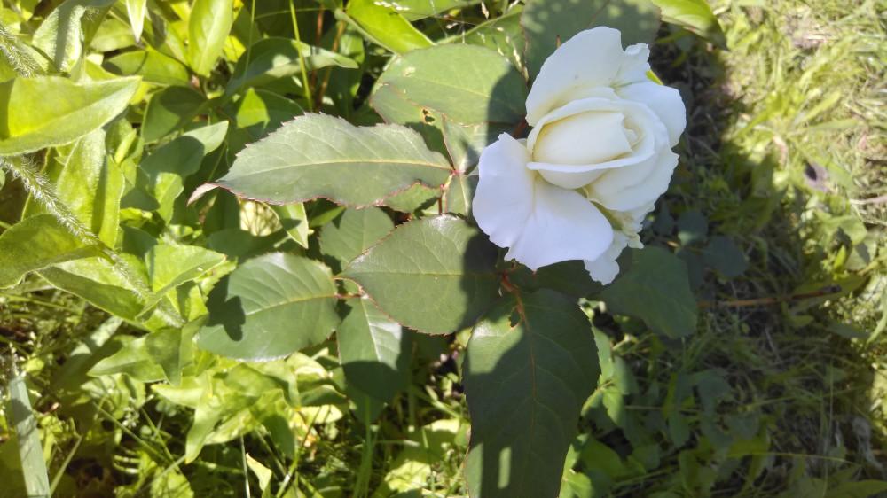 Сибирские цветочки на дачном участке 37