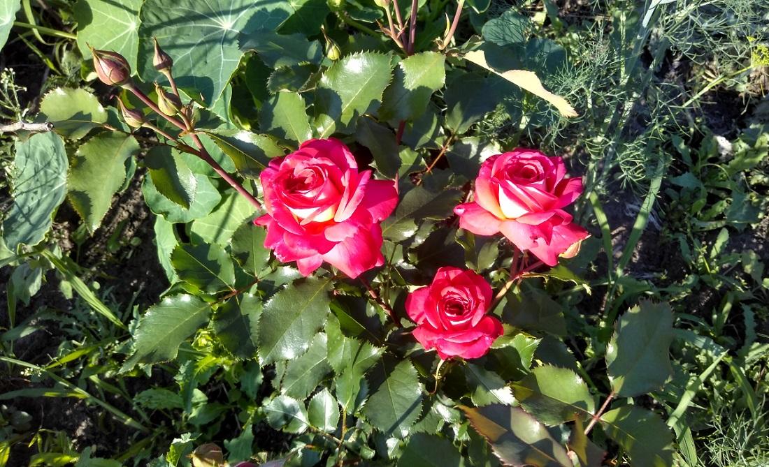 Сибирские цветочки на дачном участке 15