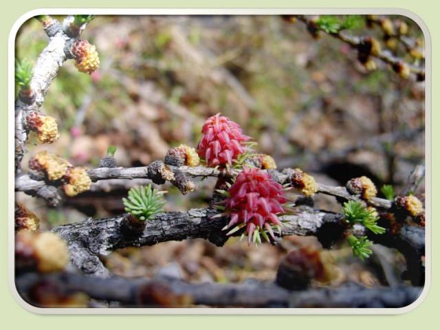 фото как цветут хвойные деревья