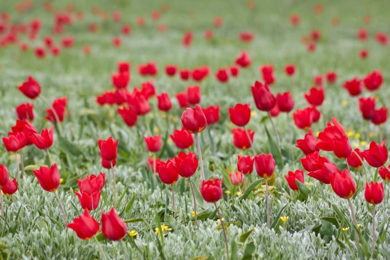 Тюльпаны Шренка (Геснера) в калмыцкой степи на острове тюльпанов