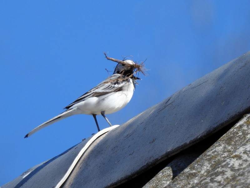 Трясогузка готовится вить гнездо
