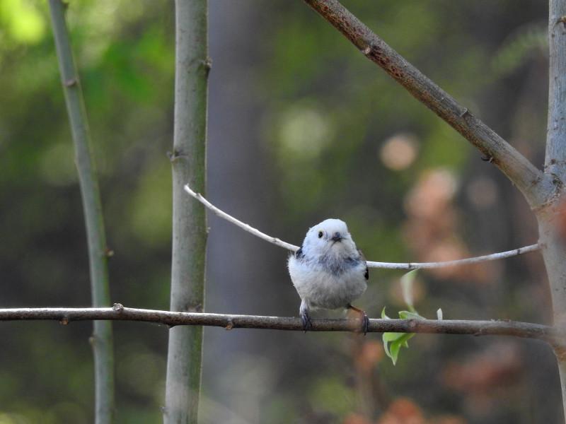 Длиннохвостая синица (ополовник)