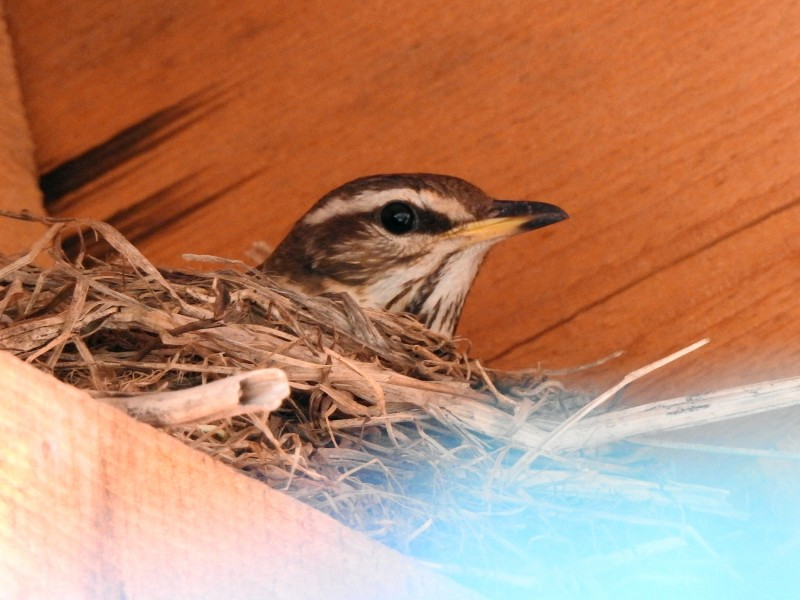 Дрозд-белобровик на гнезде