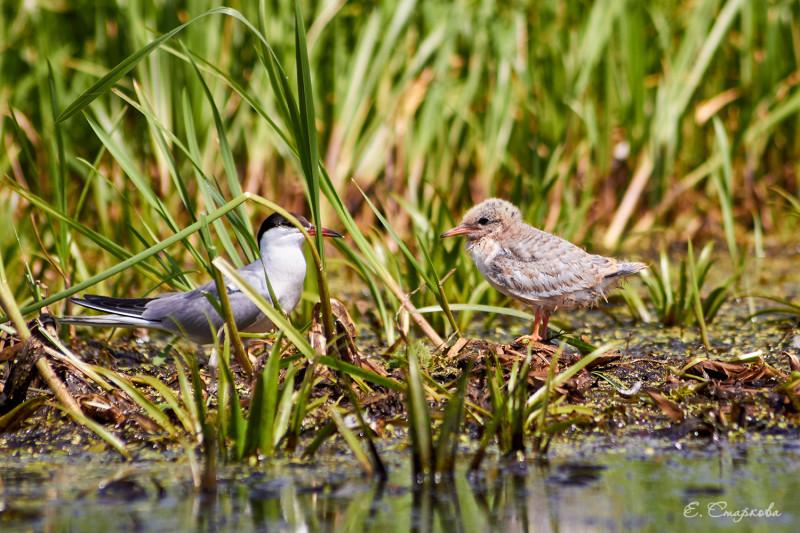 Речная крачка с птенцом