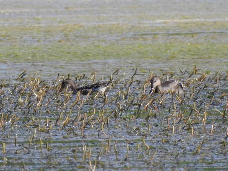 Серая утка (не путать с кряквами, что в часто встретишь в парковом пруду, это другой вид)
