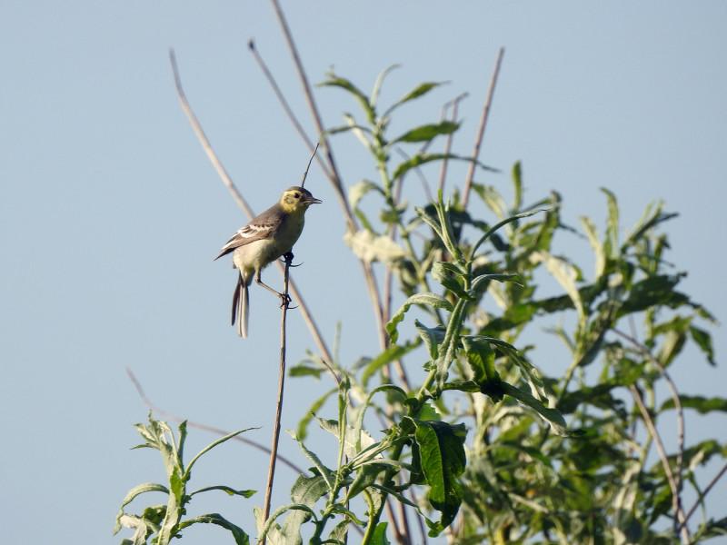 Желтоголовая трясогузка (самка)