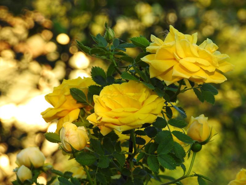 Чайная роза в нашем саду