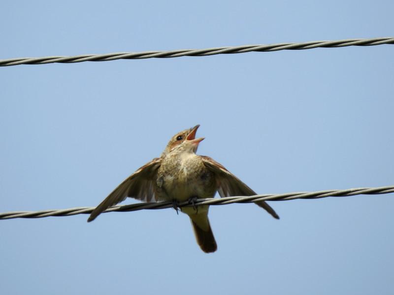 Крикун-слёток сорокопута-жулана