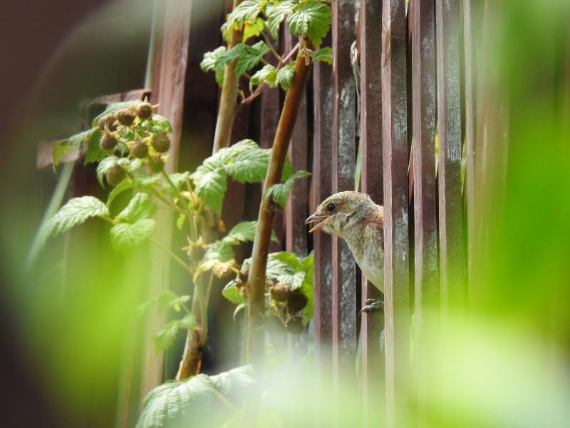 Высмотрела самку жулана в отверстие в заборе участка соседей