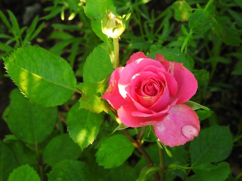 Разновидность розы
