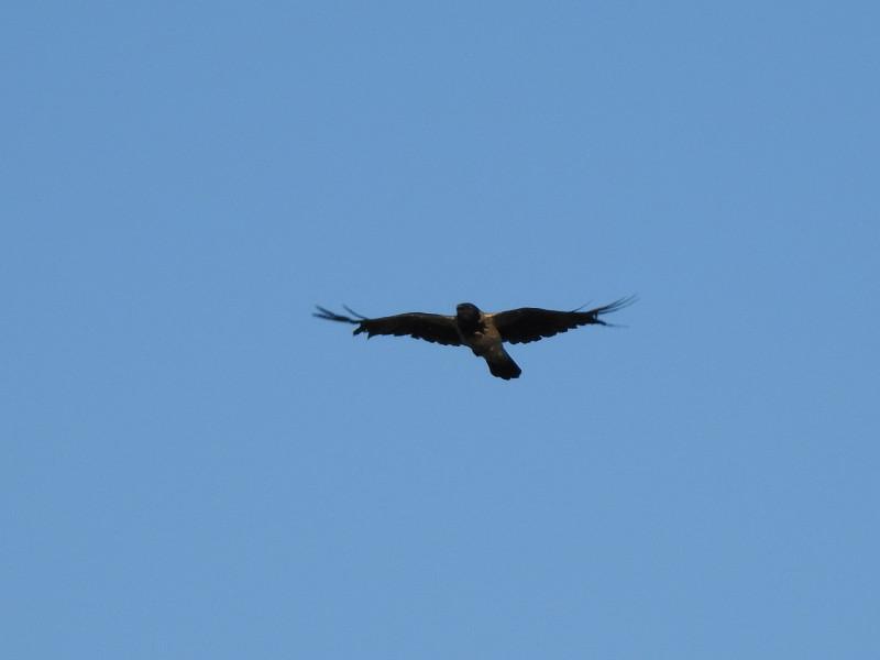 Серая ворона. Снято на Nikon Coolpix P900.