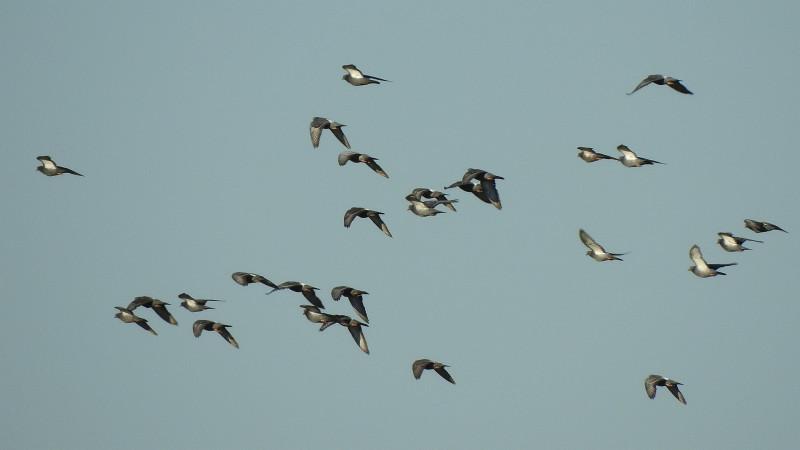 Стая сизых голубей. Снято на Nikon Coolpix P900.