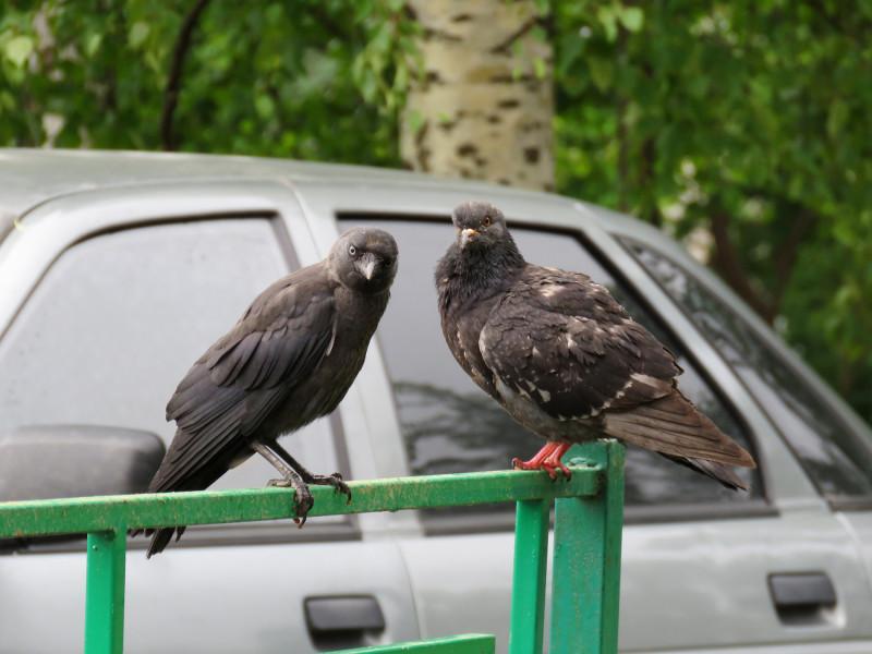Слева: слёток галки. Справа: сизый голубь. Снято на Canon Powershot SX60.