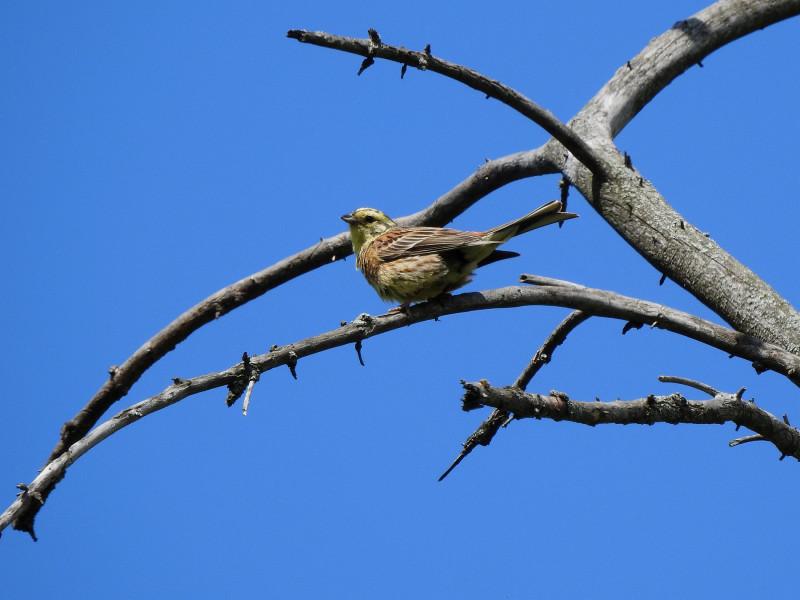 Обыкновенная овсянка. Снято на Nikon Coolpix P900.