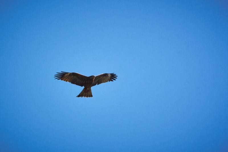 Чёрный коршун. Снято на Canon 550D с объективом Sigma 70-300.