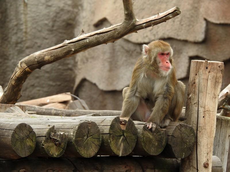 Японская макака в Ижевском зоопарке. Фото сделано на Nikon Coolpix P900.