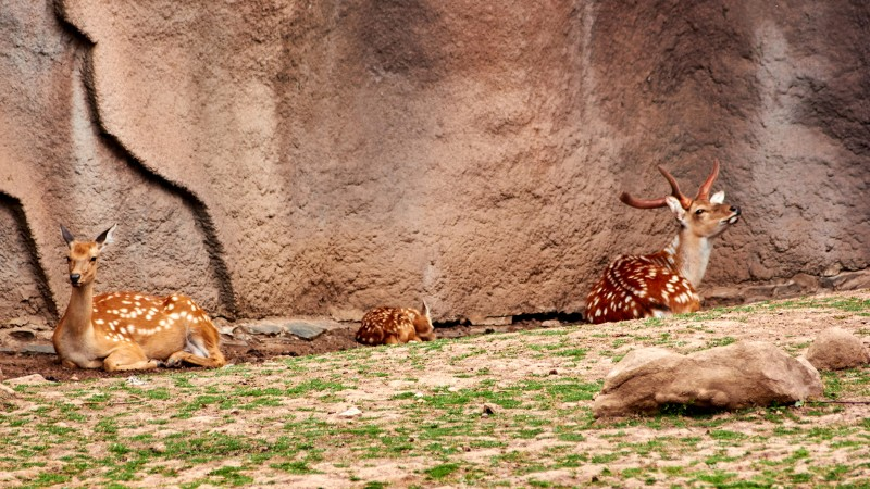 Пятнистые олени в зоопарке Удмуртии. Фото сделано на Canon 550D с объективом Sigma 70-300.
