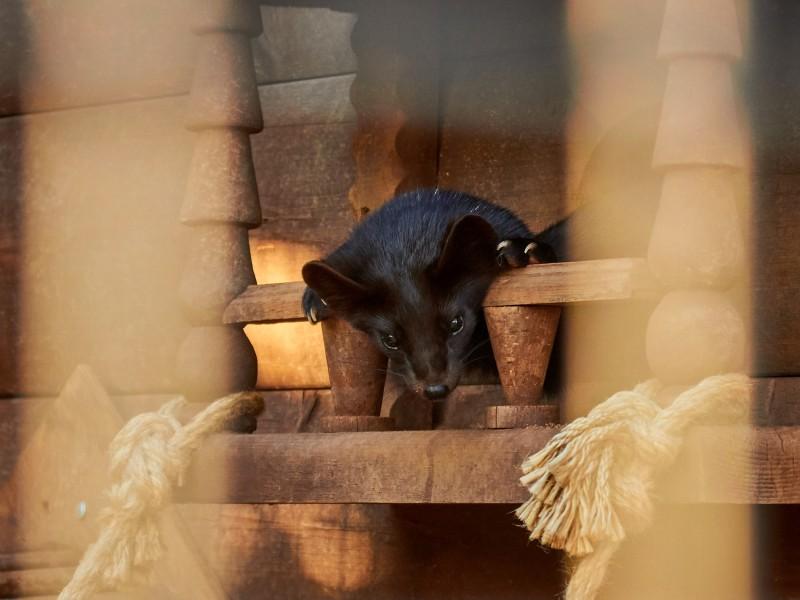 Соболь в зоопарке Удмуртии. Фото сделано на Canon 550D с объективом Sigma 70-300.