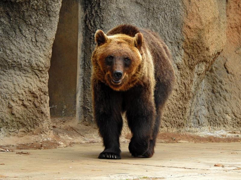 Бурый медведь. Фото сделано на nikon Coolpix P900.