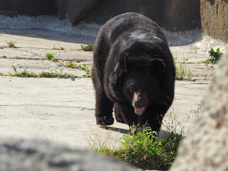 Белогрудый медведь (грудь демонстрировал, но в кадр не попался в этот момент). Nikon Coolpix P900.