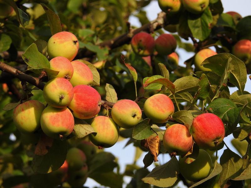 Наши яблоки неизвестного сорта.