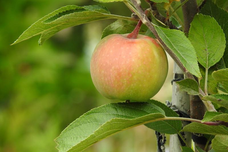 """Яблоко сорта """"Конфетное"""""""