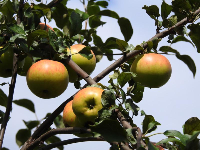 """Яблоки сорта """"Медовое"""""""