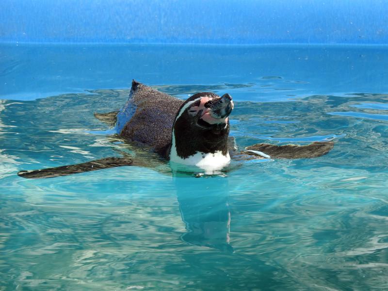 Пингвин Гумбольдта в зоопарке Удмуртии