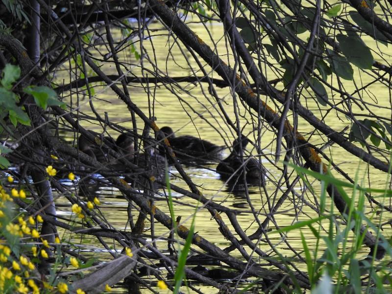 Уточки прячутся в зарослях сухостоев у берега Чемошурского пруда