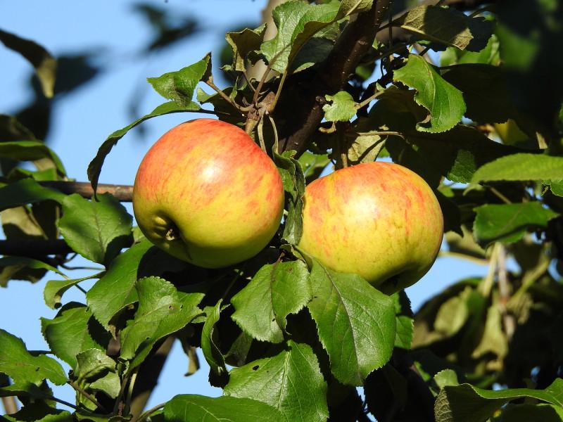 Медуница. Очень вкусные сладкие яблоки.