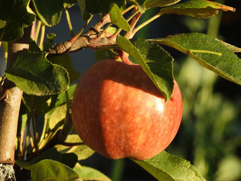 """Одно единственное яблоко сорта """"Конфетное"""" в предзакатном освещении. Ещё не пробовали."""