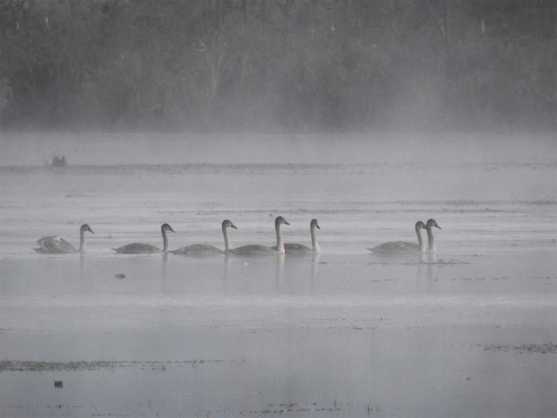 Выводок лебедей