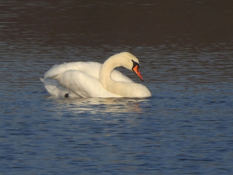 Лебедь-шипун. Взрослая птица.