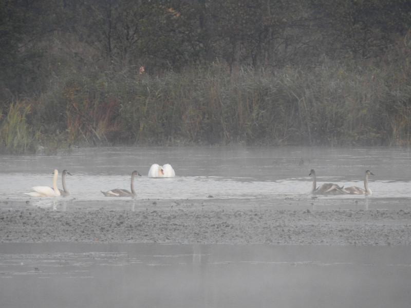 Лебеди-шипуны с молодняком