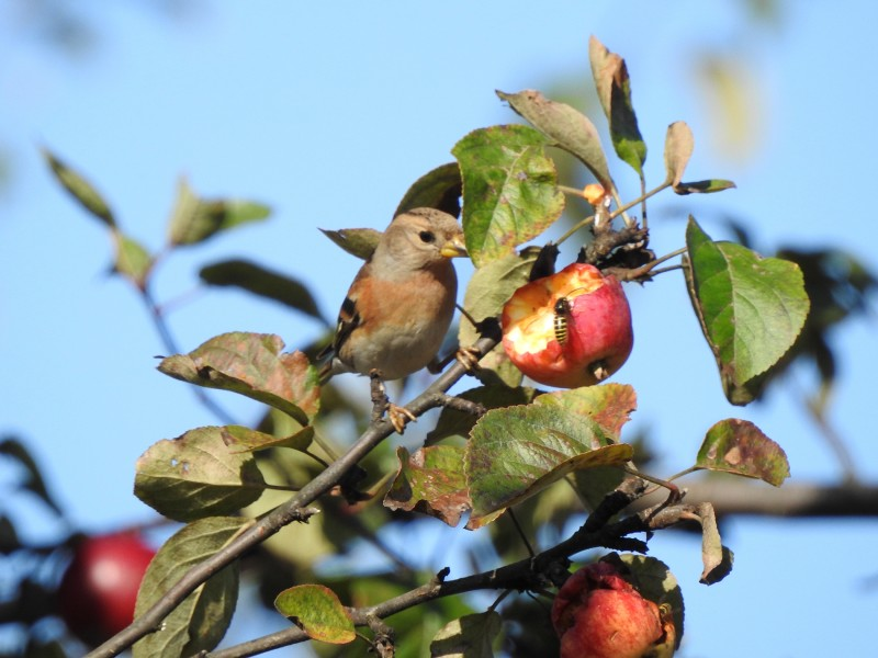 Вьюрок на яблоне