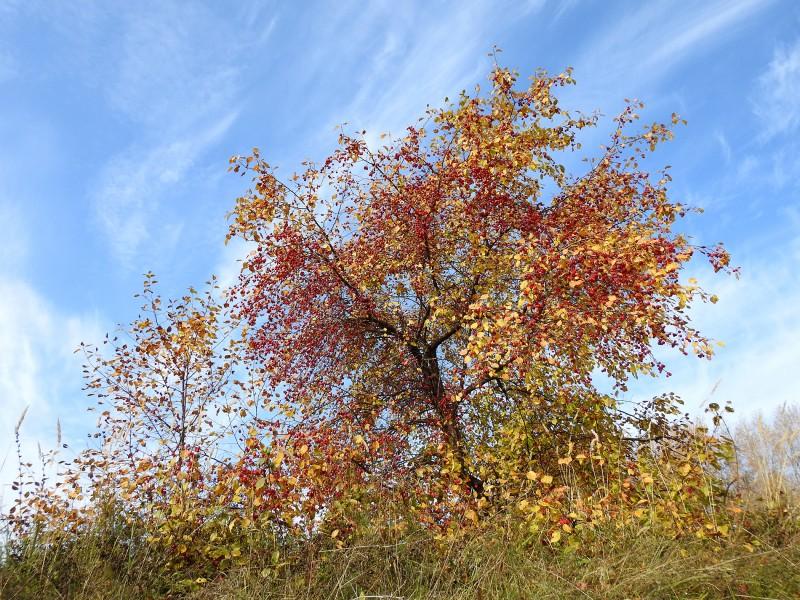 Мелкоплодная яблоня на берегу Сепычевского пруда