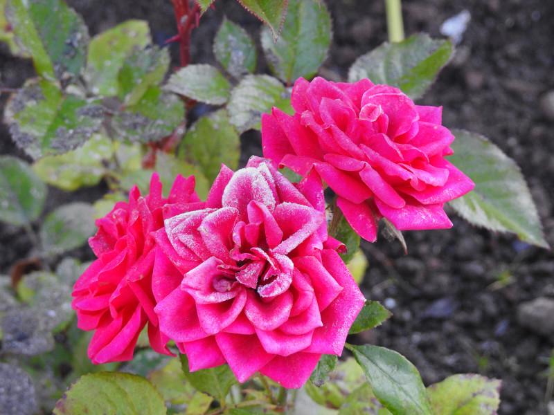 Роза из серии Кордана