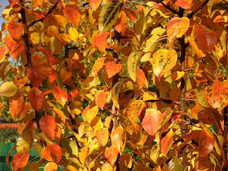 """В таком ярком одеянии была 3 октября наша груша сорта """"Лада"""""""