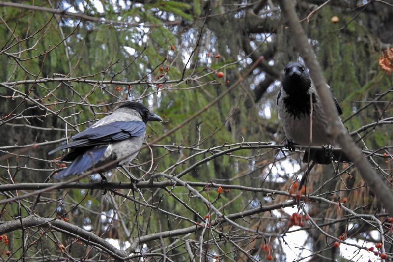 Парочка серых ворон