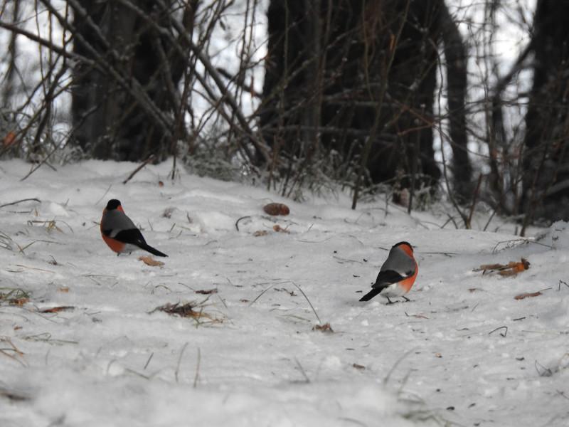 Снегири предпочитали выискивать съестное прямо на снегу